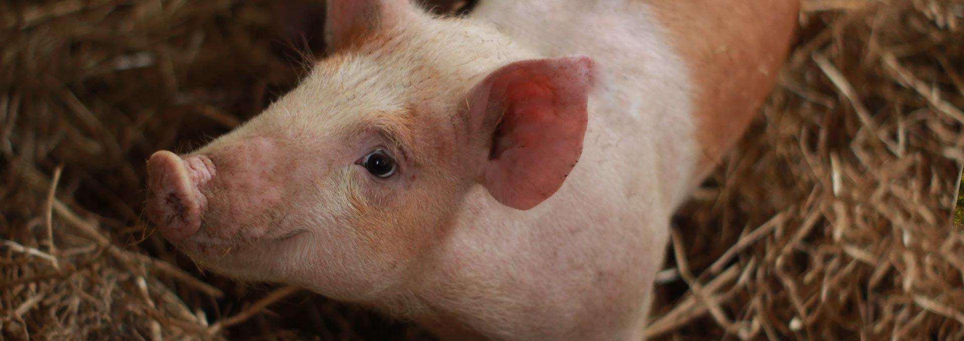 Veterinaria para cerdos